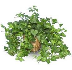 plant_english_ivy