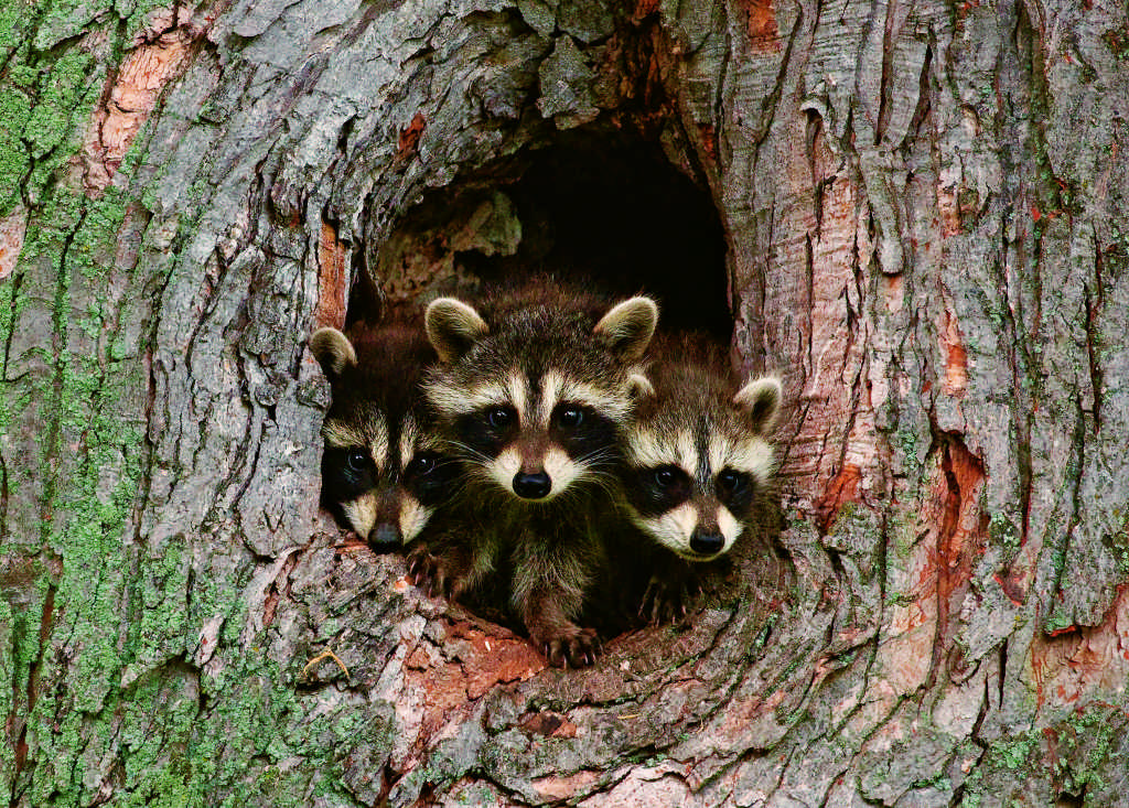how to keep raccoon away during the day
