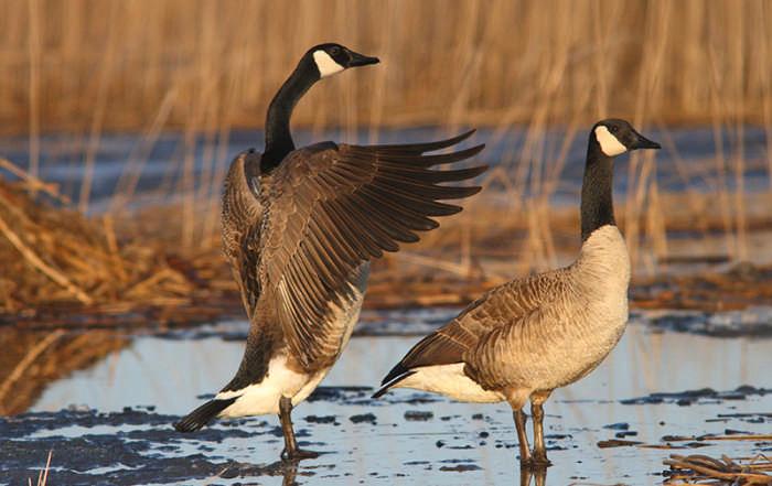 March 21 Canada Goose Flap Wings Forward; Filename: CBN-D1014_11