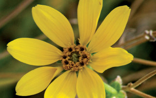 Engelmann's daisy, fall flowers