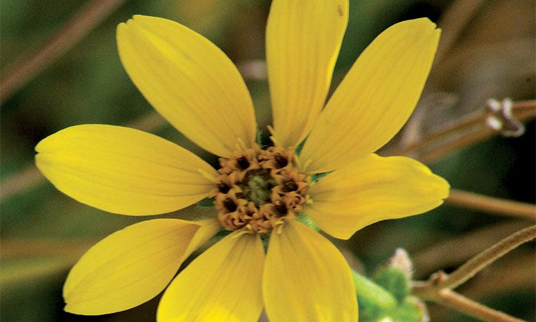 Engelmann's daisy, fall flowers