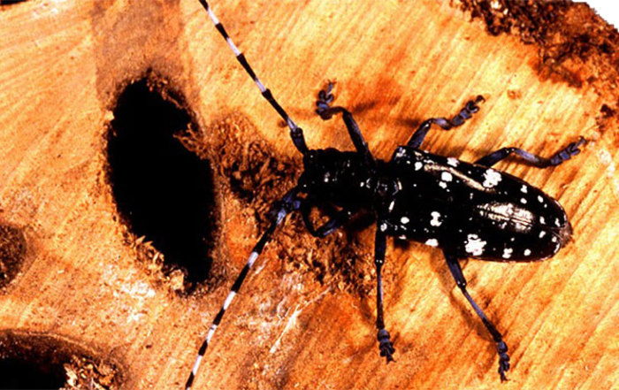 Asian_longhorned_beetle, prevent tree disease